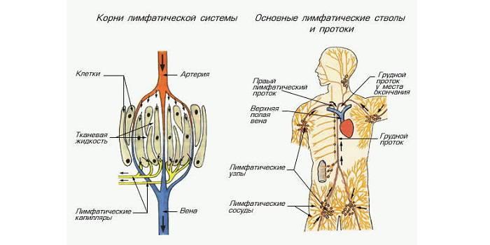 Лимфатическая система челвека