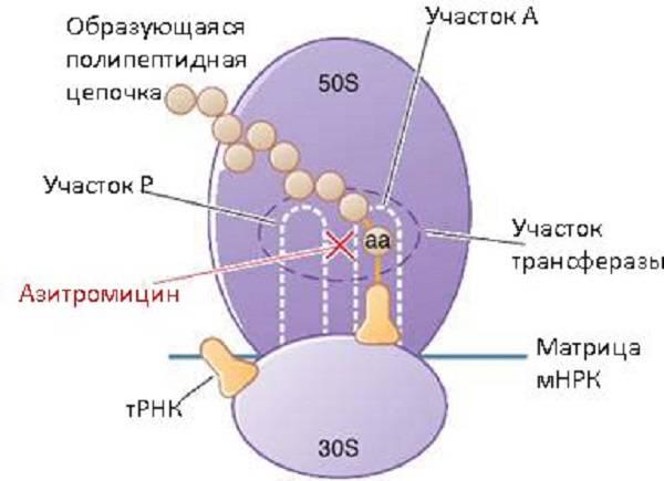 Действие Азитромицина
