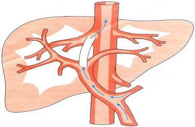Кровеносная система печени