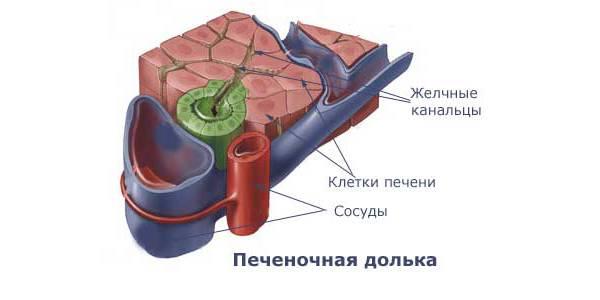 Клетки органа