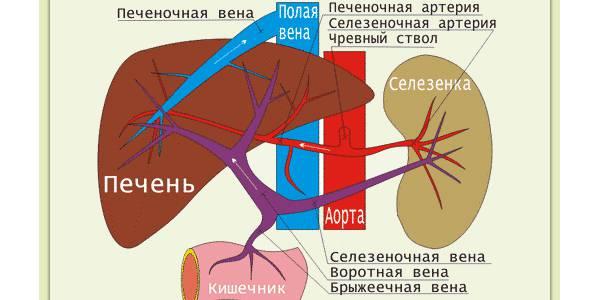 Кровоснабжение органа