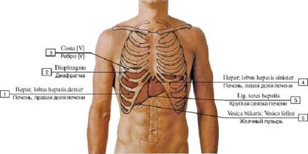 Скелетотопия печени