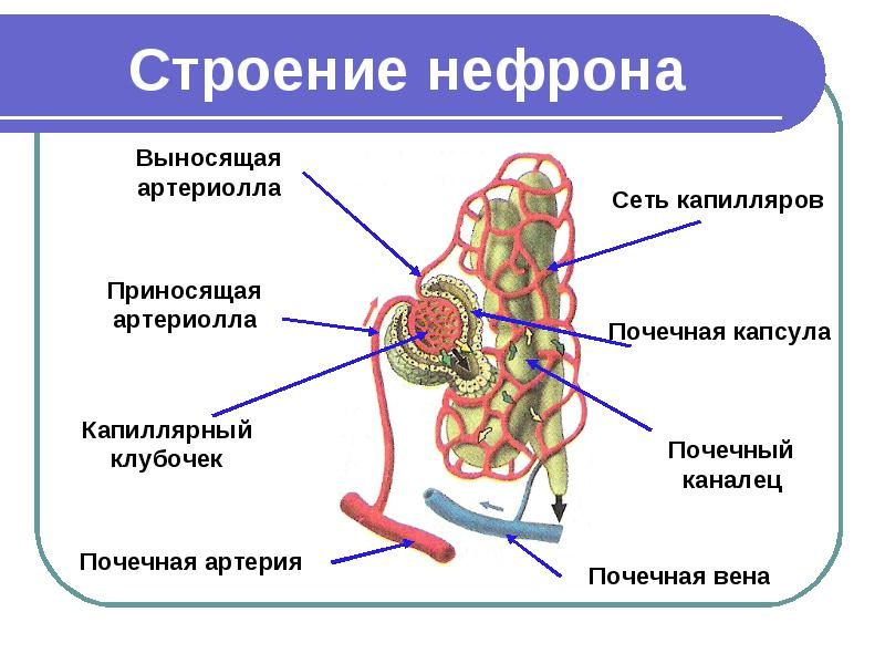 Нефрон