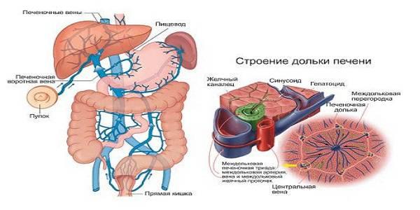 Связь печени с другими органами