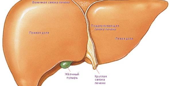 Строение органа