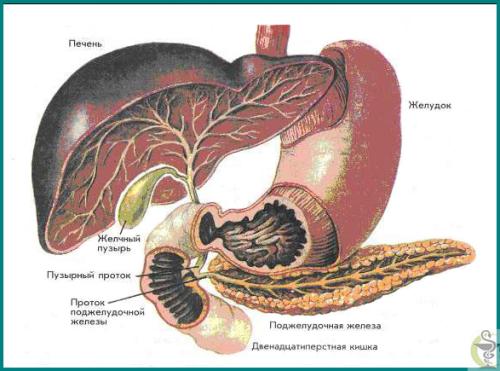Органы пищеварительной системы