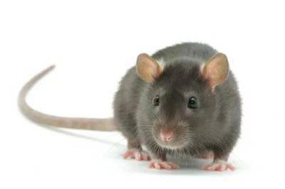 Крыса - переносчик вируса