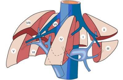 Сегменты железы