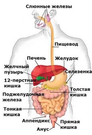 Схема нашего организма