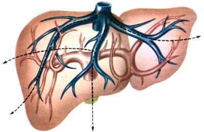 Расположение вен и артерий